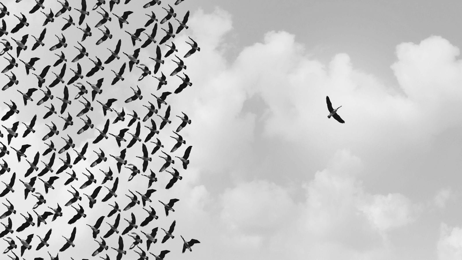 image: lone bird next to flock